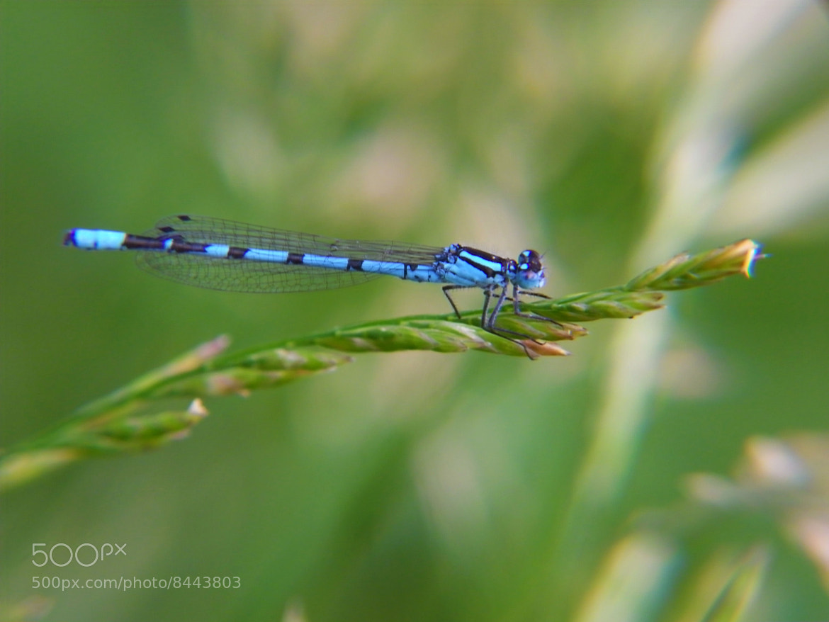 Photograph Blue dragonfly by Iva Mihalic on 500px