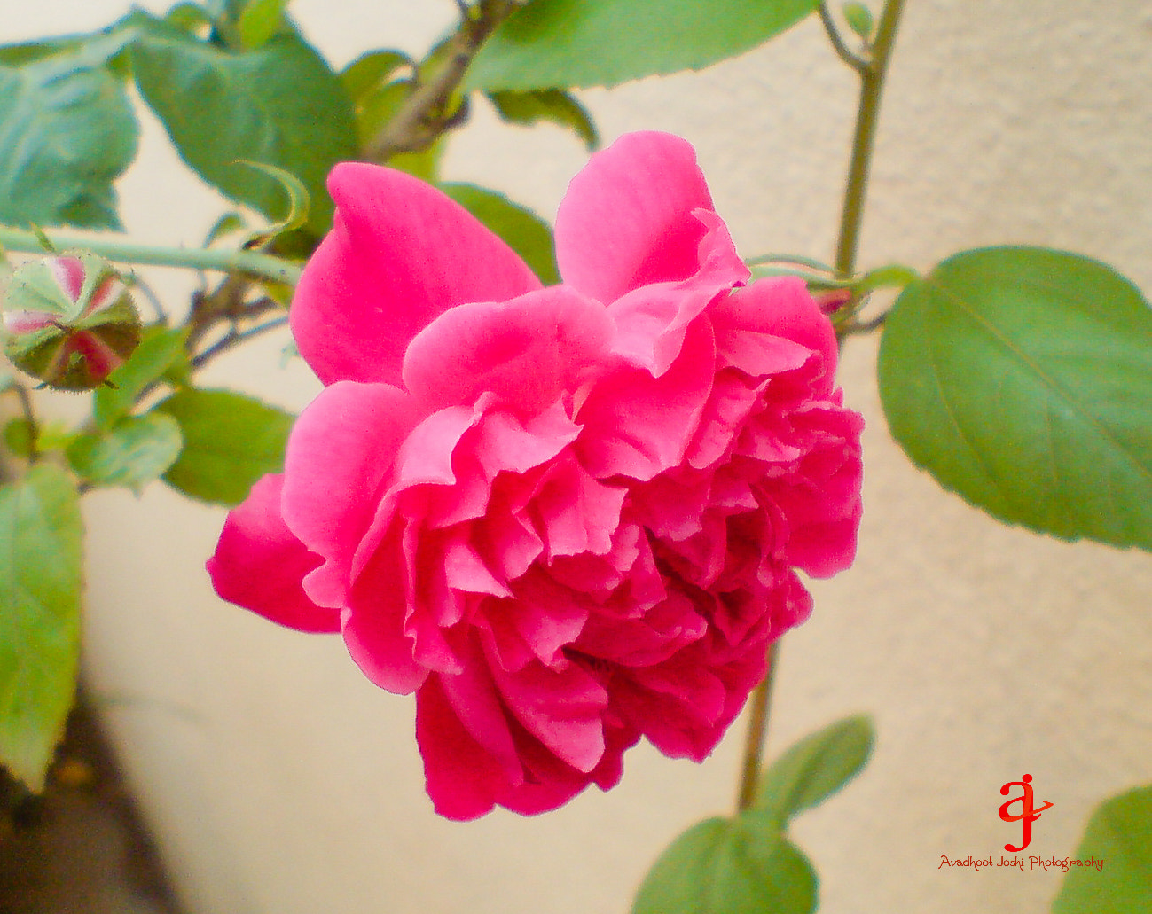 Photograph Rose.... by Avadhoot  Joshi on 500px