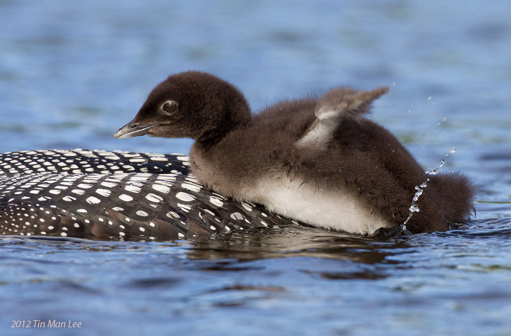 Photograph Loons Chick Climb by Tin Man on 500px