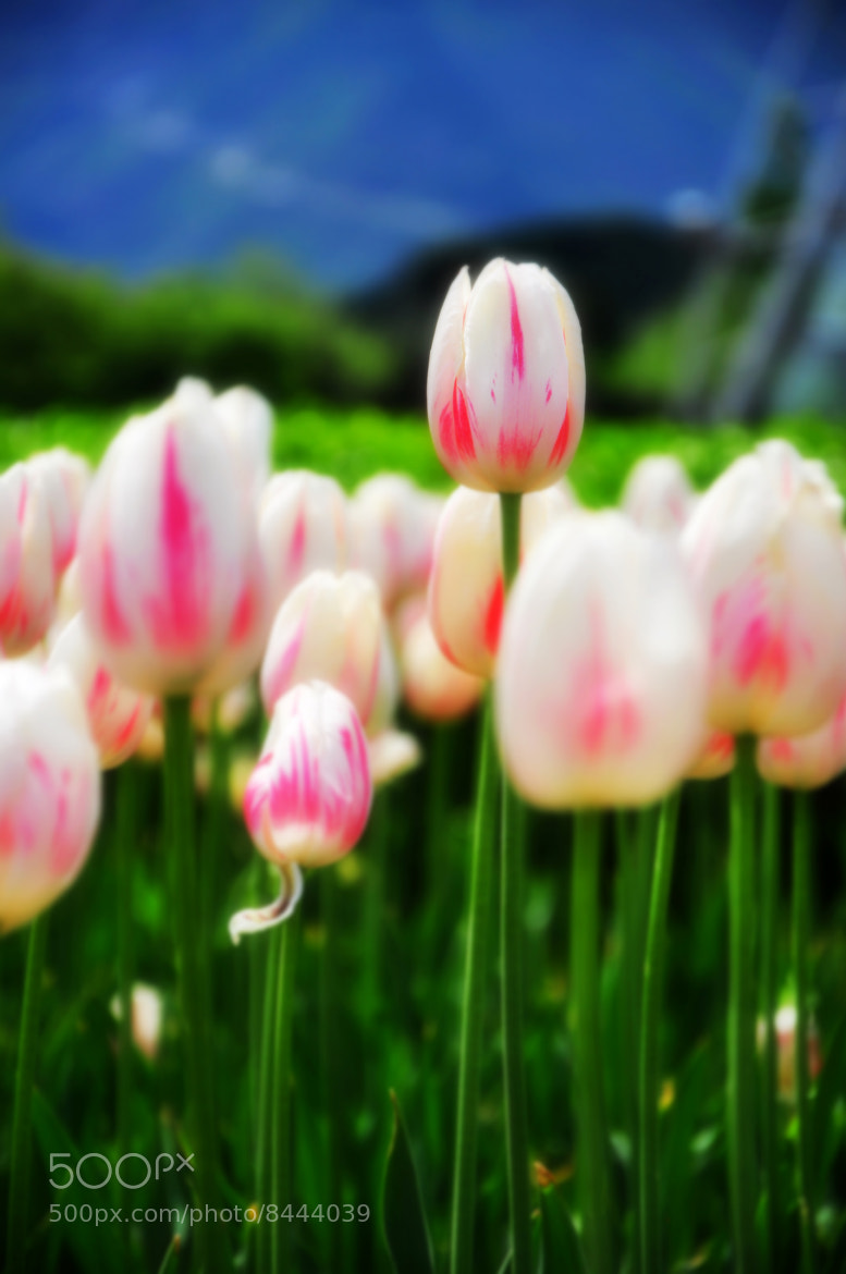 Photograph Tulip by Z He on 500px