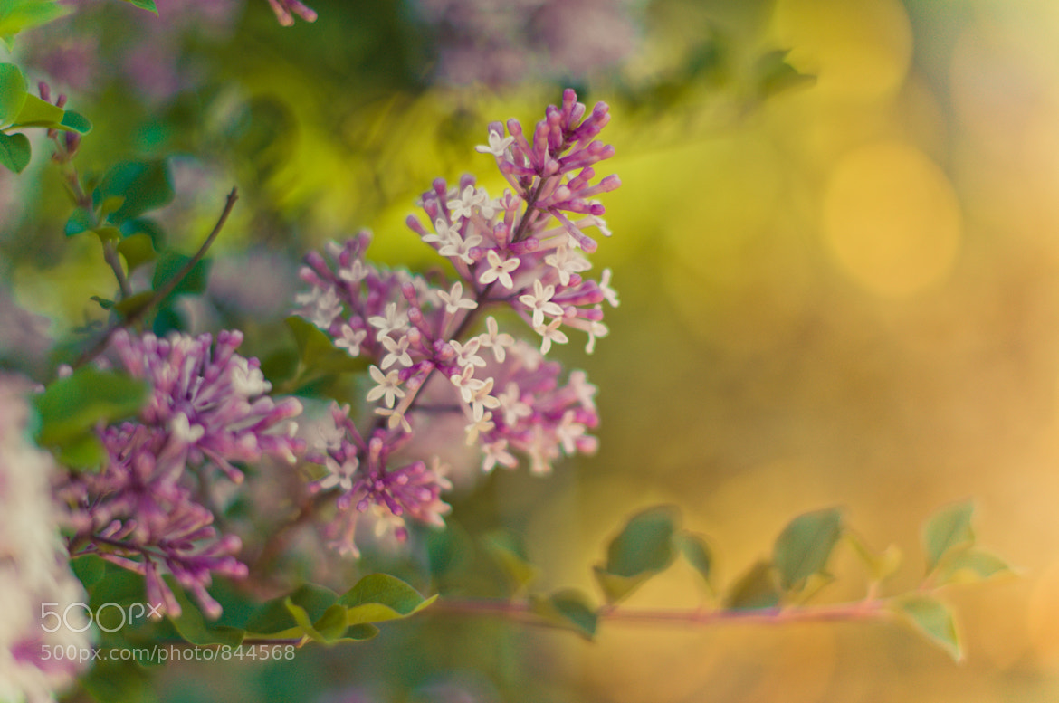 Photograph lilac me by Diana Tula on 500px