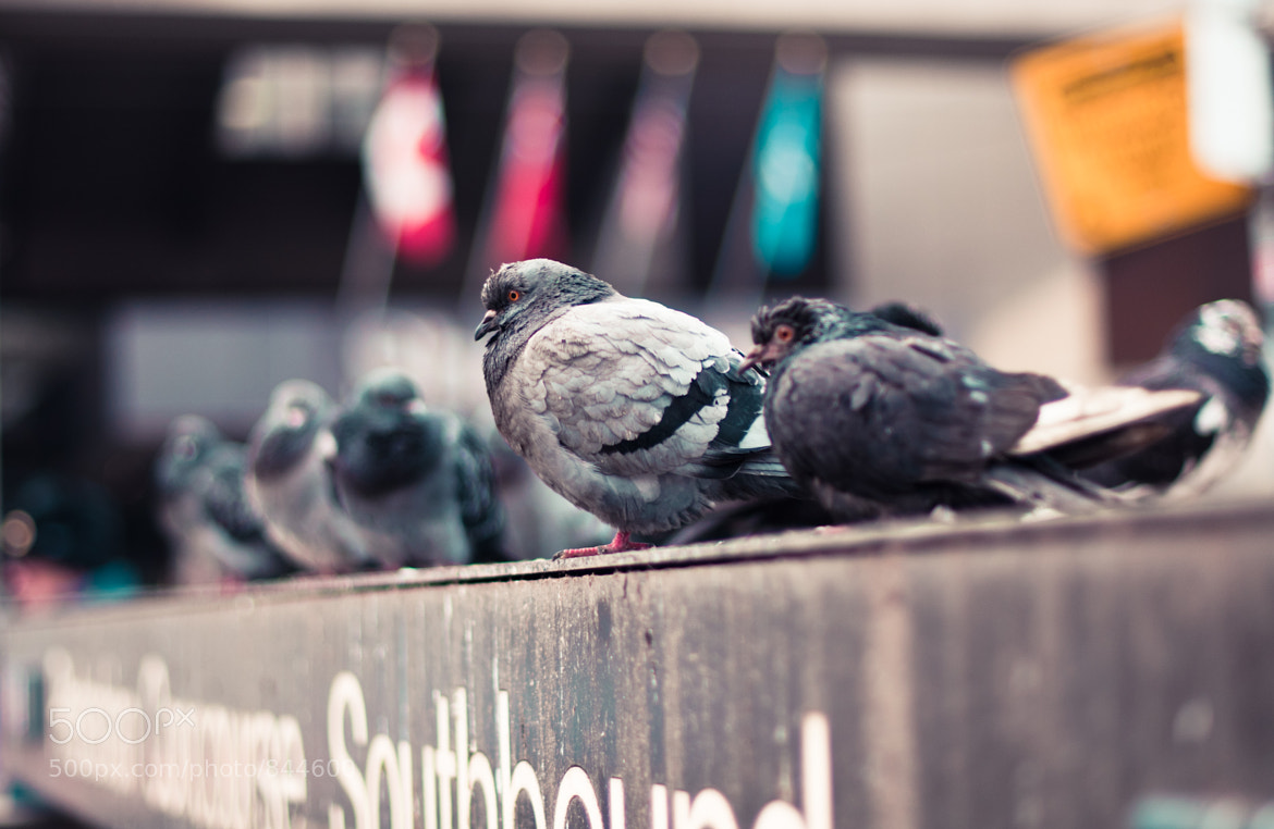 Photograph pigeon summit by Diana Tula on 500px