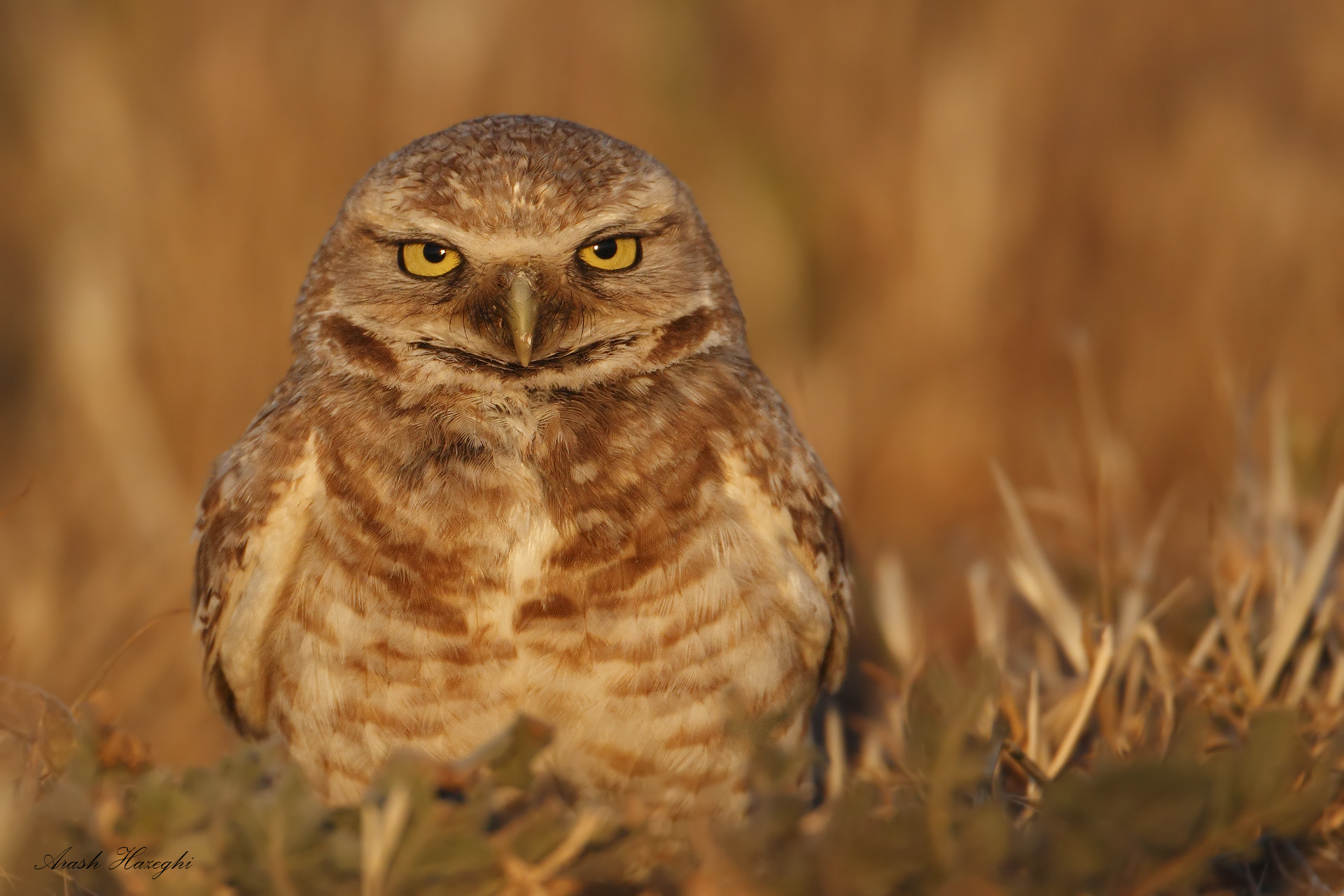 Photograph Burrowing owl by Ari Hazeghi on 500px