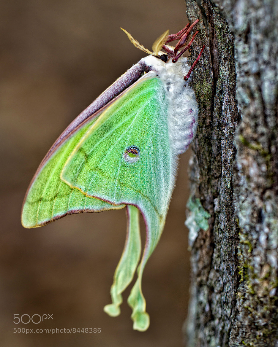 Photograph Luna Moth by John Mead on 500px
