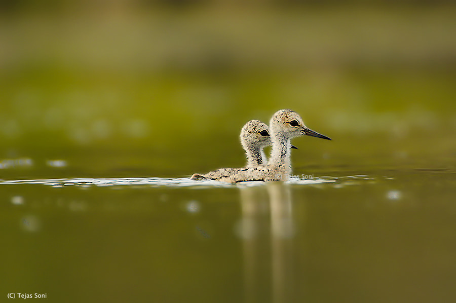 Photograph Black winged stilt chicks by Tejas Soni on 500px