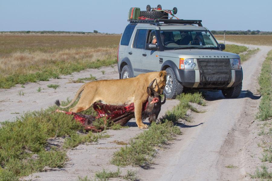 Kalahari Traffic Jam