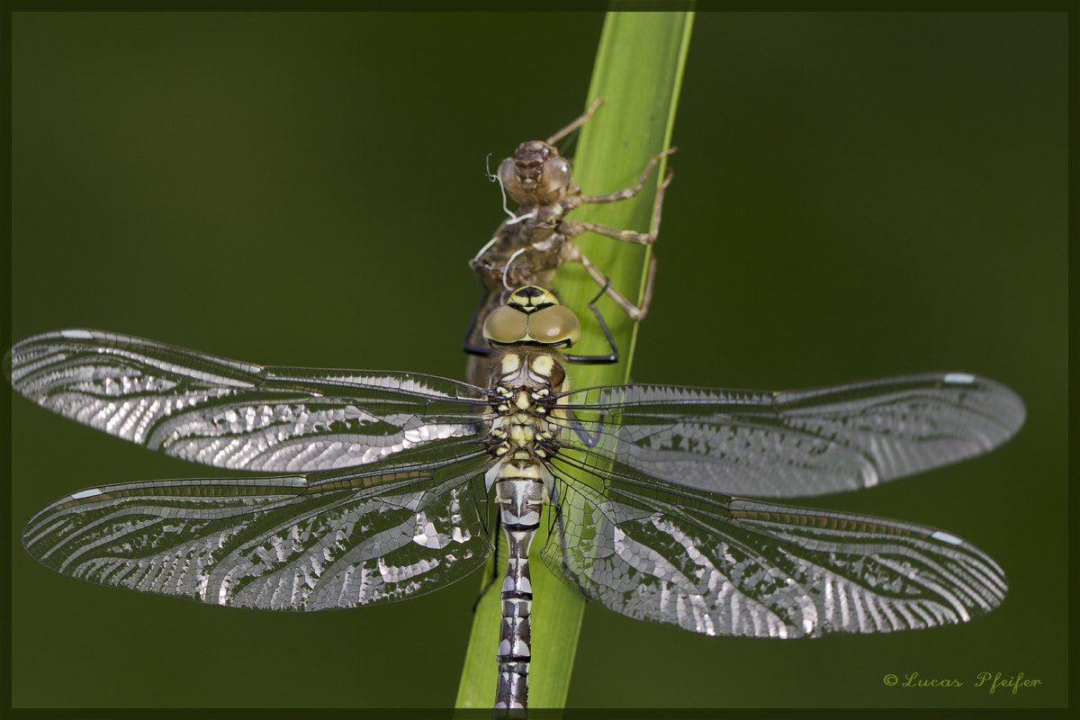 Photograph newborn dragonfly by Lucas Pfeifer on 500px