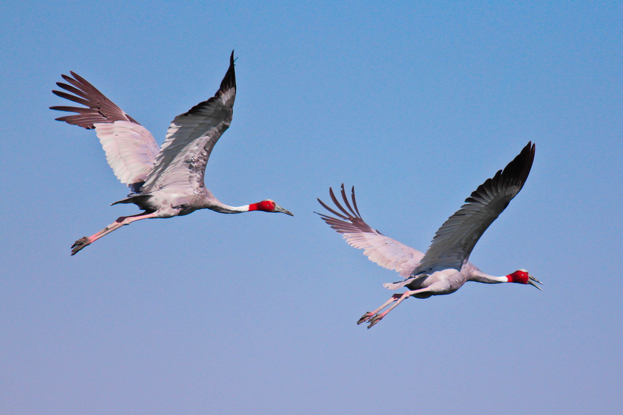 Photograph Sarus Crane by Umesh Kathad on 500px
