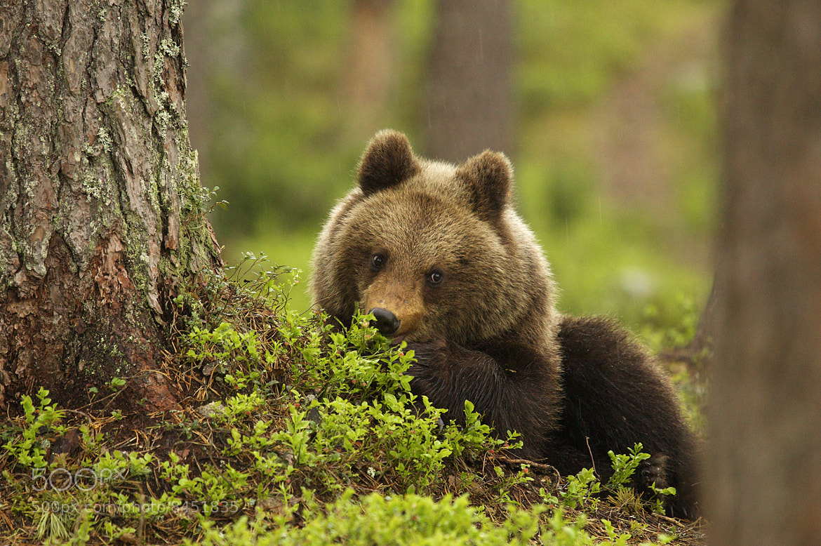 Photograph Brown bear cub by Sylwia Domaradzka on 500px