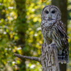 Постер, плакат: Barred Owl