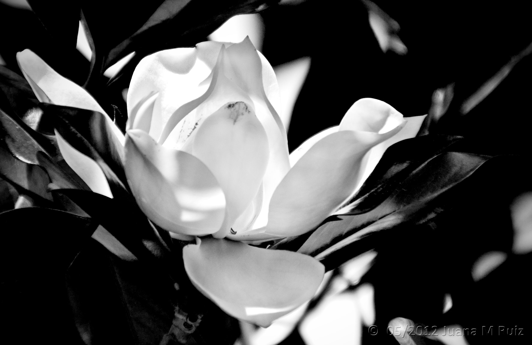 Photograph Magnolia by Juana Maria Ruiz on 500px