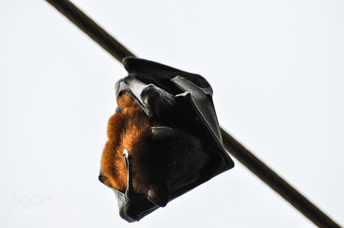 Photograph hangover bat by Raoul Gross on 500px