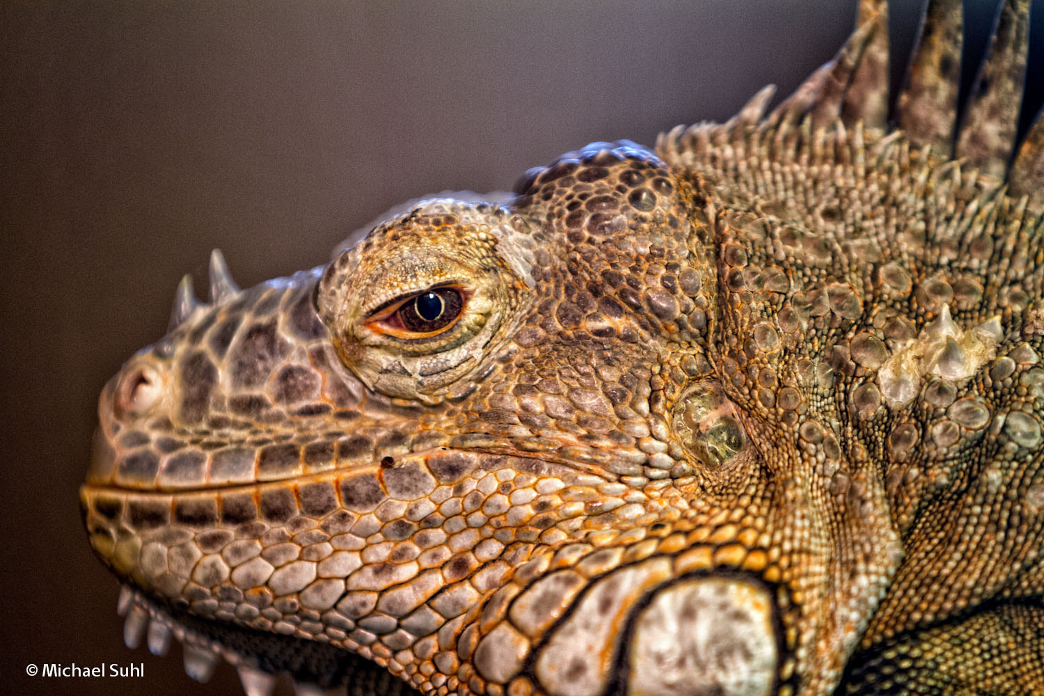 Photograph Iguana by Michael Suhl on 500px