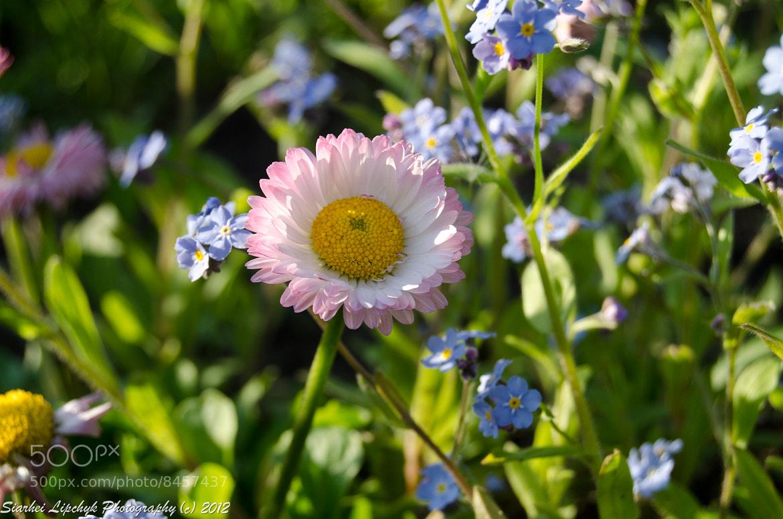 Photograph Daisy by Sergey Lipchik on 500px