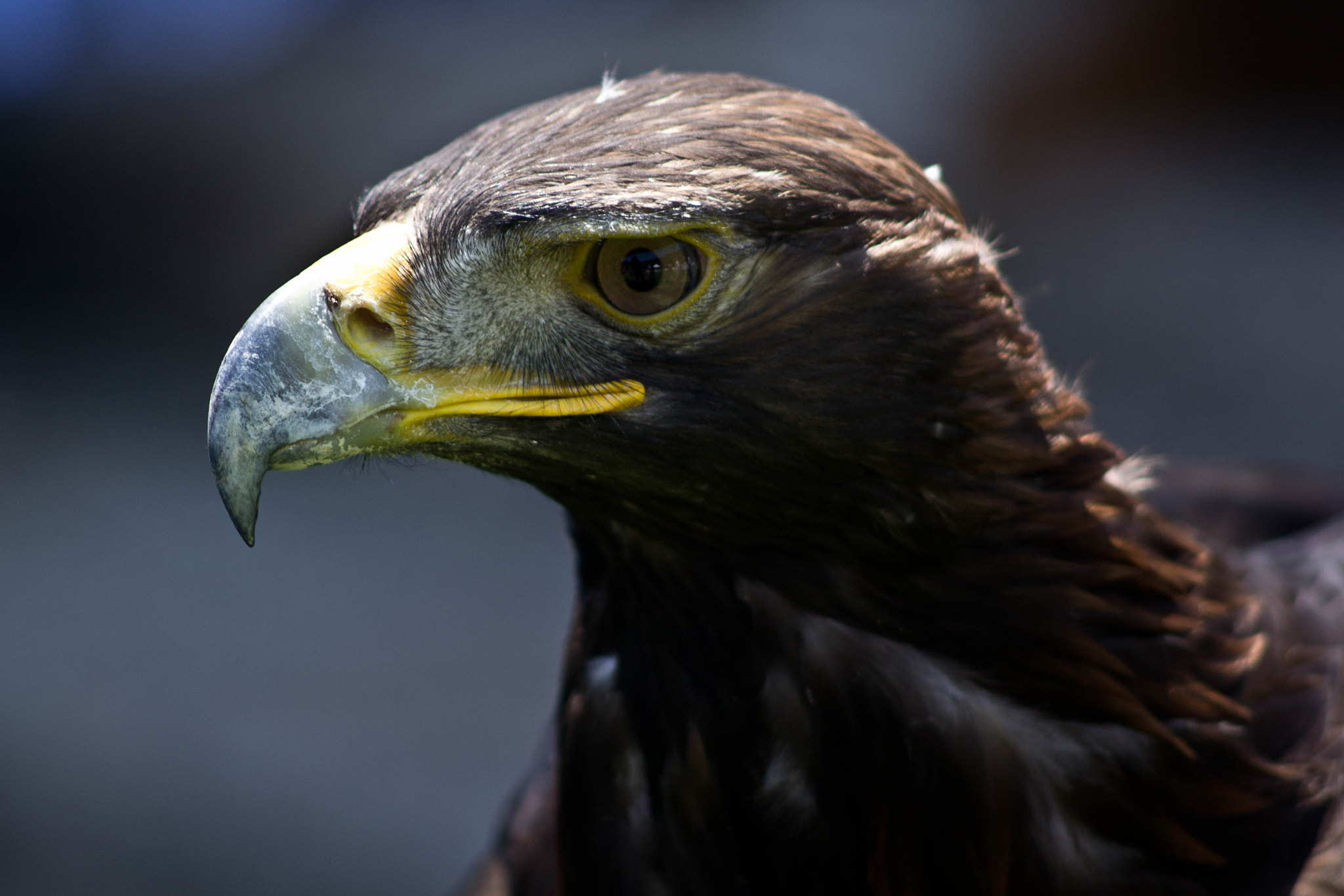 Photograph Eagle by elizabeth ramos on 500px
