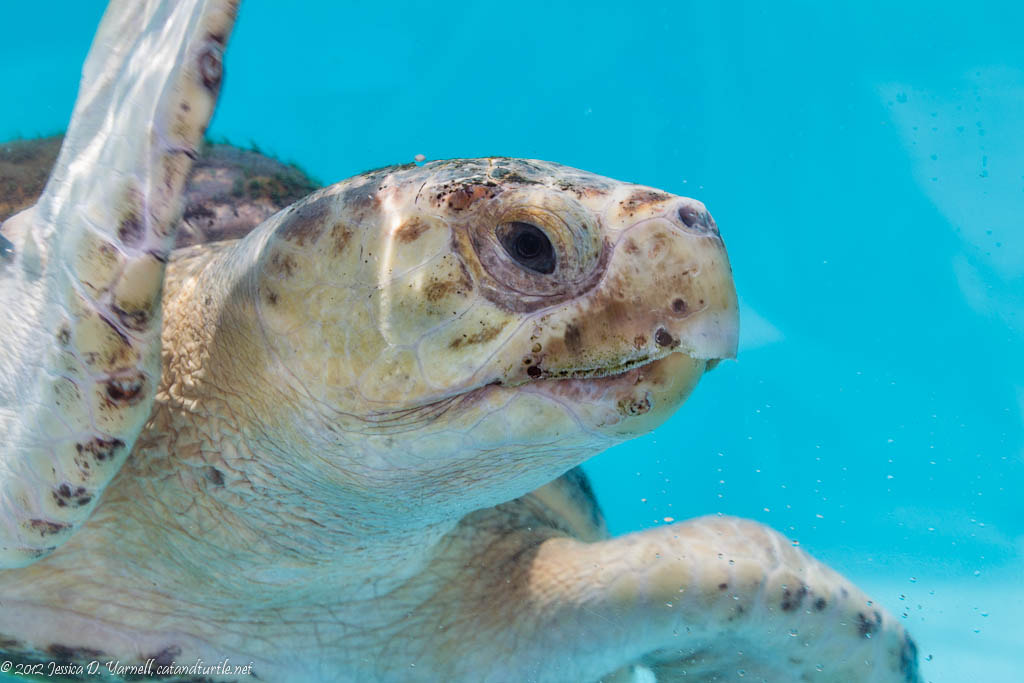 Photograph Tilly the Loggerhead Turtle by Jess Yarnell on 500px