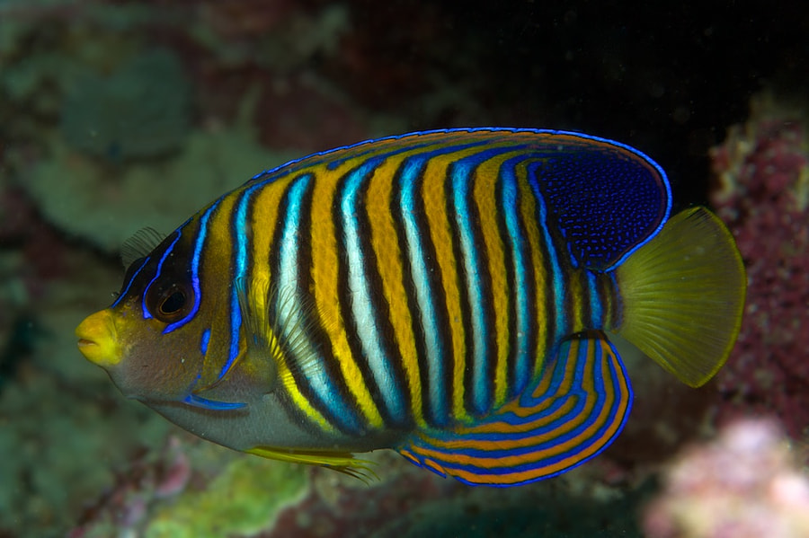 Regal Angelfish by Des Paroz on 500px.com