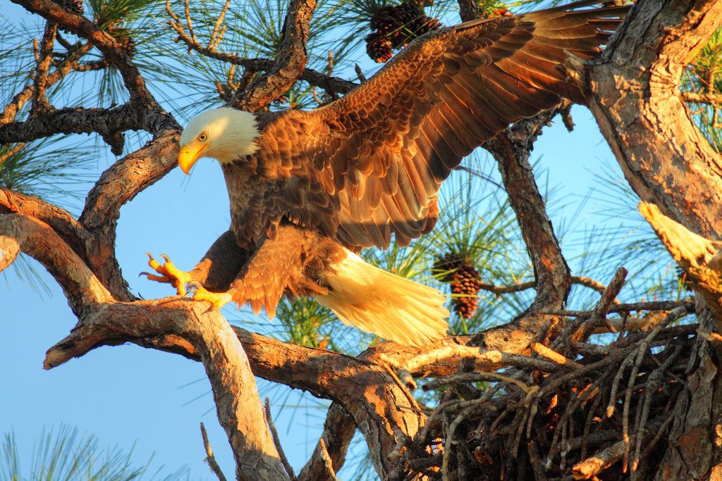 Photograph Bald Eagle Landing At The Nest by Greg Matthews on 500px