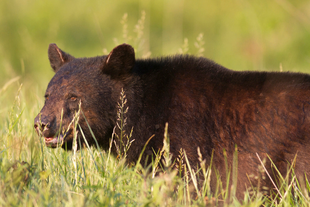 Photograph Black Bear At Sunset by Greg Matthews on 500px