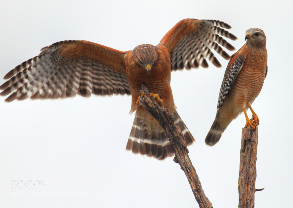 Photograph Red Shouldered Hawk Pair by Greg Matthews on 500px