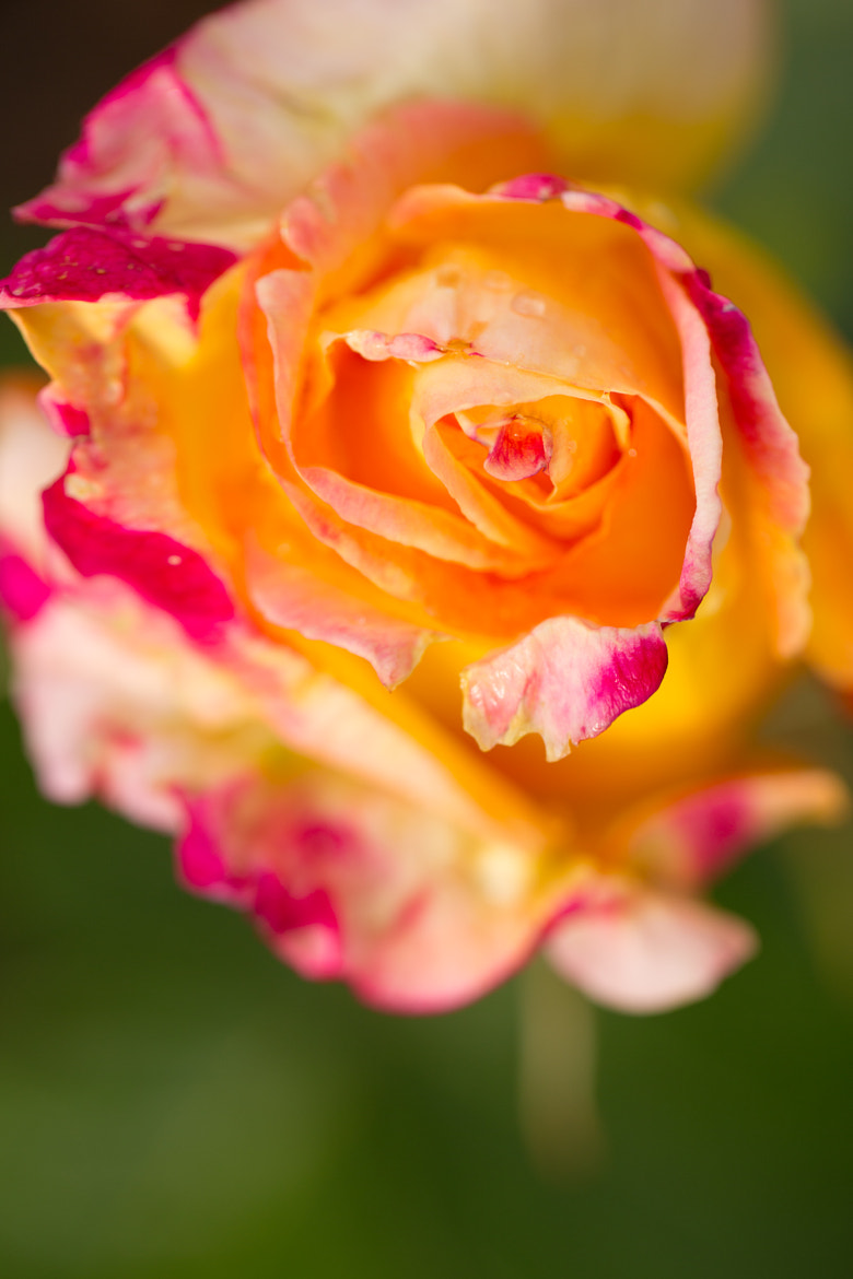 Photograph Summer Rose by Joseph Calev on 500px