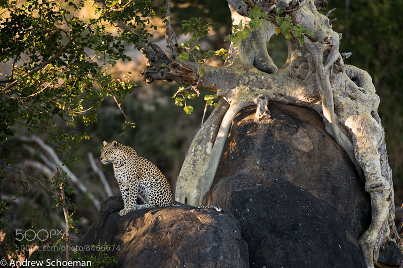Photograph Leopard rock! by Andrew Schoeman on 500px