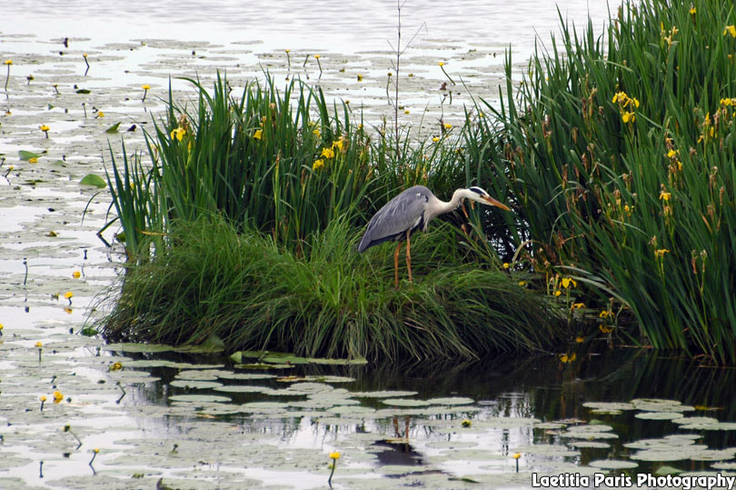 Photograph Grey Heron by Laetitia Paris on 500px