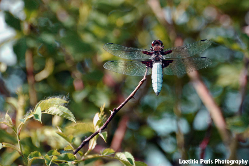 Photograph Broad-bodied Chaser by Laetitia Paris on 500px