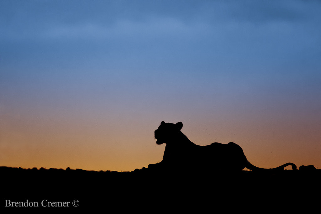 Photograph Lioness by Brendon Cremer on 500px