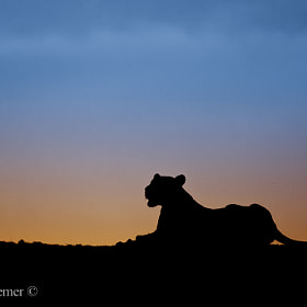 Lioness by Brendon Cremer (BrendonCremer)) on 500px.com
