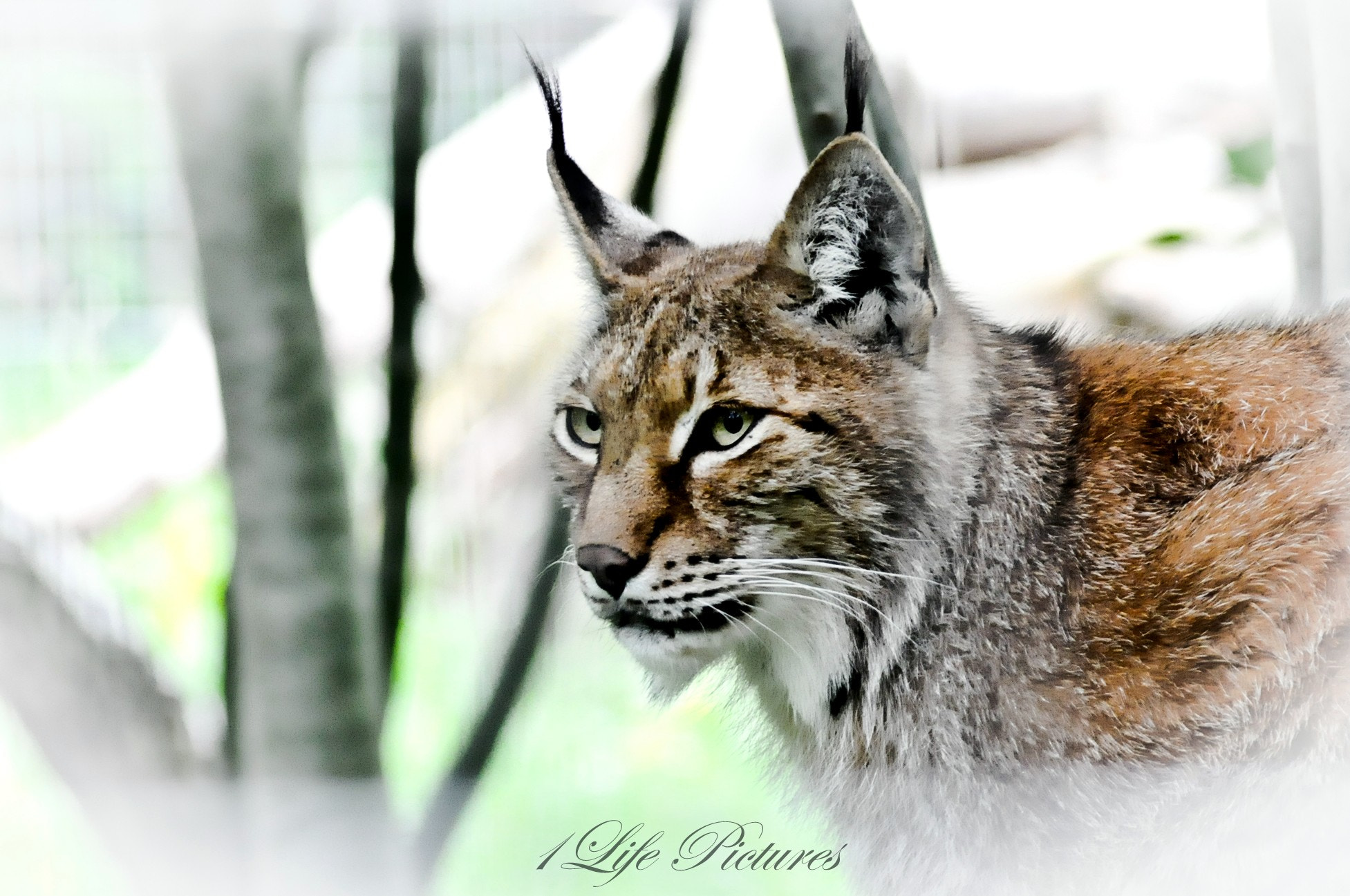 Photograph Siberian Lynx by Christophe Gilbert on 500px