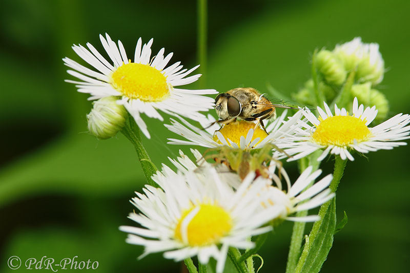 Photograph On daisy by PdR Photo on 500px