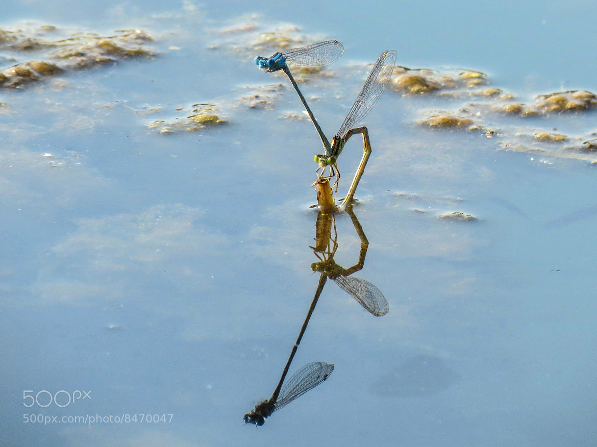 Photograph Dragonflies In Love by Luca Fiori on 500px