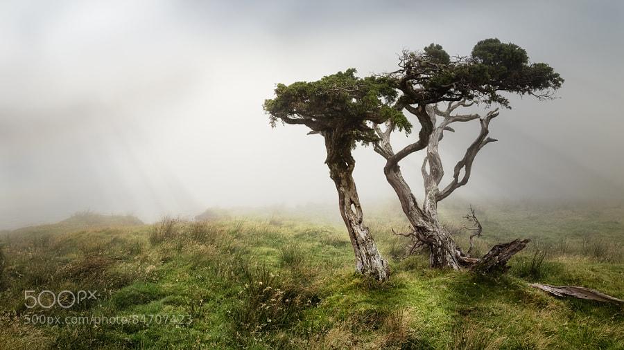 Lone junipers