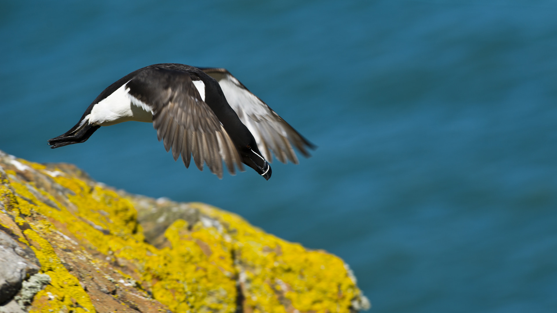 Photograph Razorbill by allan squires on 500px
