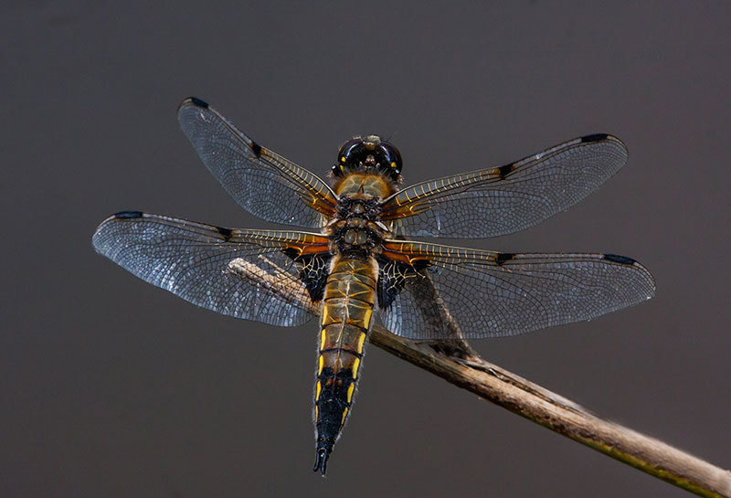 Photograph four spotted chaser by dave blackwell on 500px