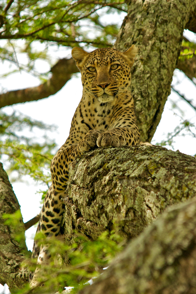 Photograph Serengeti Leopard in an acacia tree by Seb Loram on 500px