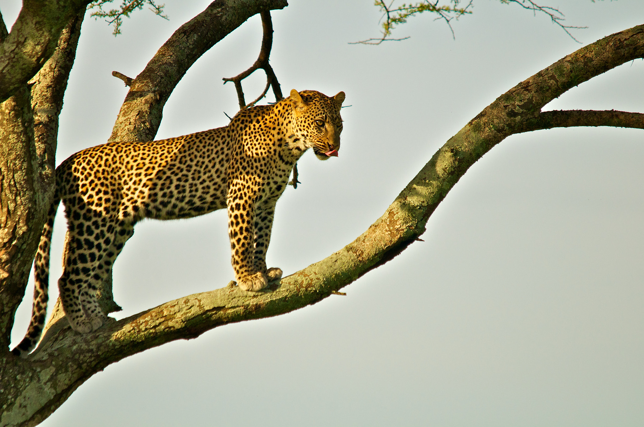 Photograph Serengeti Leopard in morning light by Seb Loram on 500px