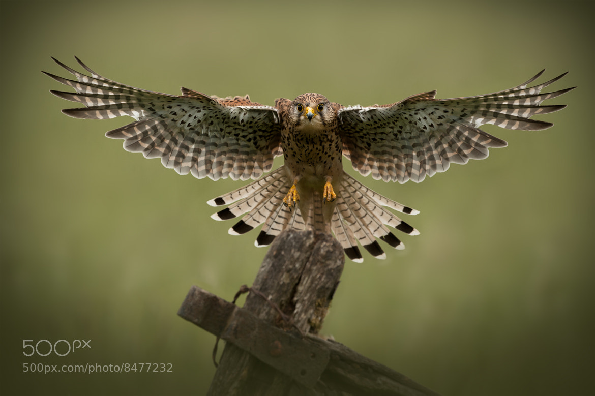 Photograph Common Kestrel by Andy Astbury on 500px