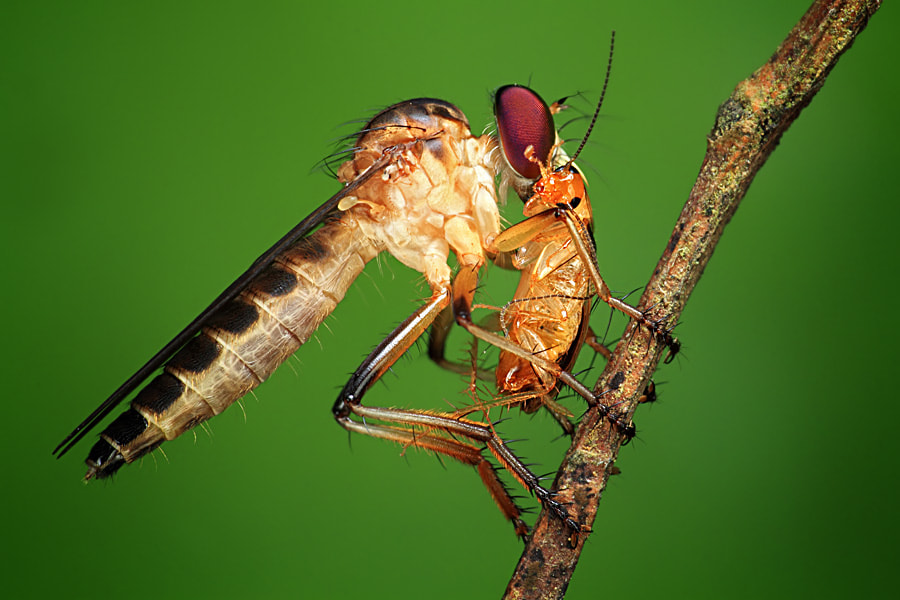 Photograph robberfly and its prey by shikhei goh on 500px
