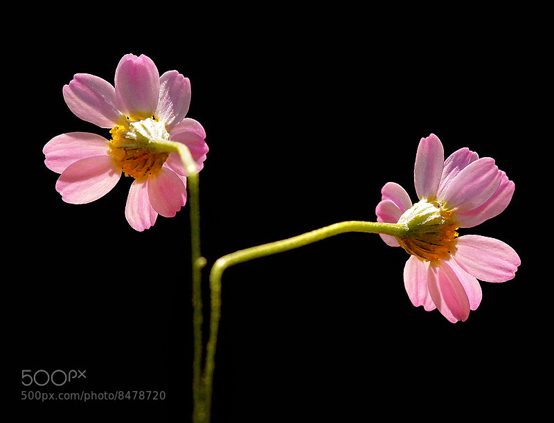 Photograph Pink Daisy. by Necdet Yasar on 500px