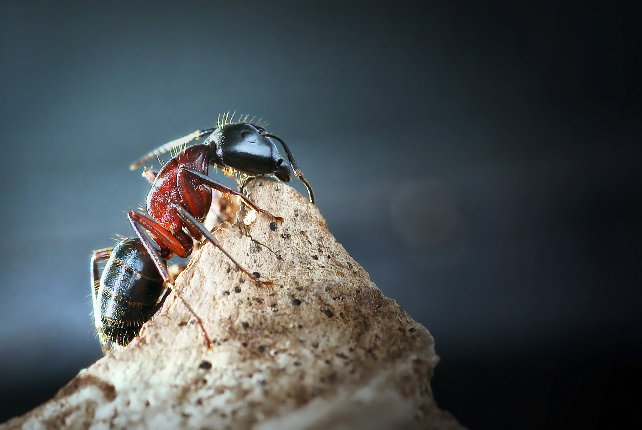 Photograph Scout Ant by Helena Flykt on 500px