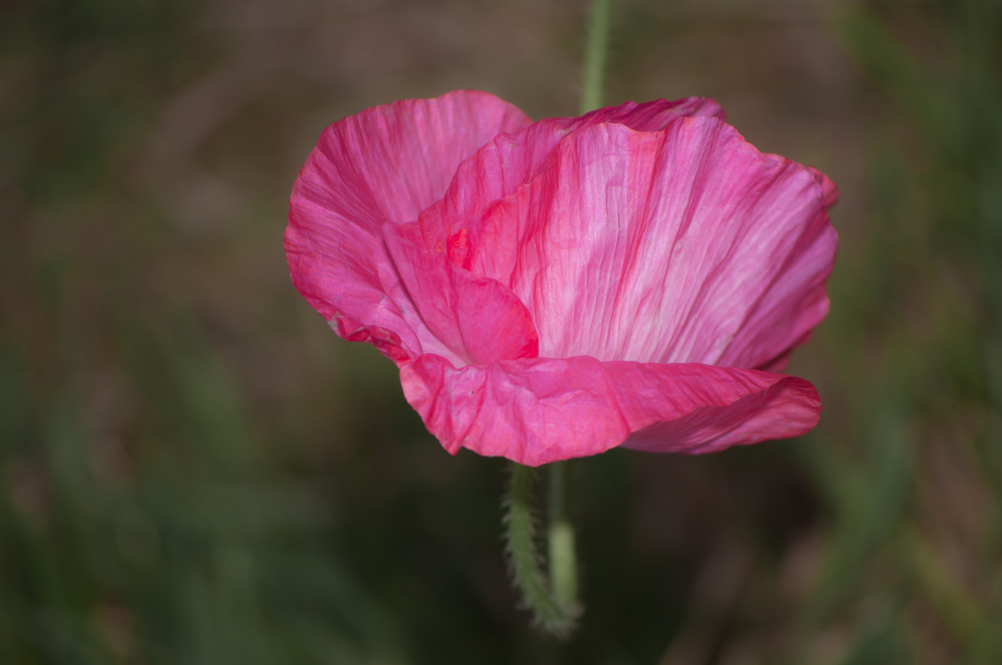 Photograph Pink Oyster Shell Poppy  by Ly Son Le on 500px