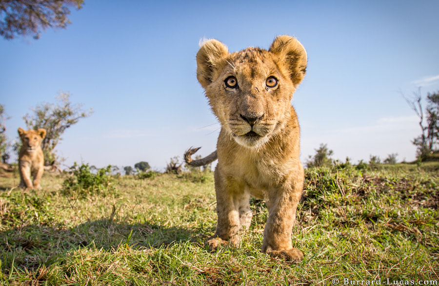 Photograph Lion Cub by Will Burrard-Lucas on 500px