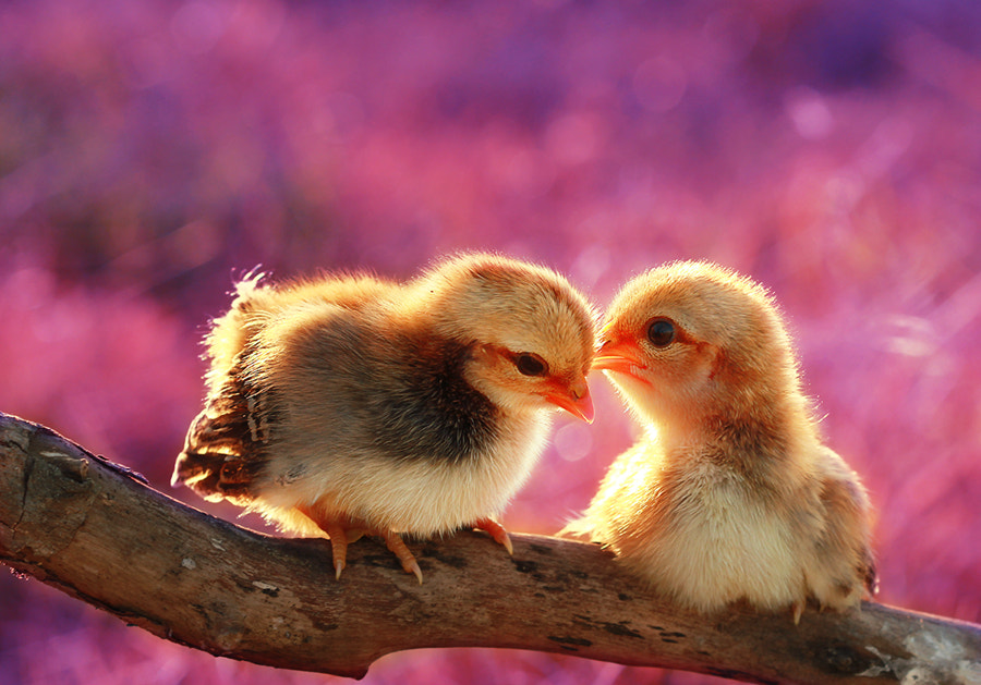 Photograph Sweet Couple Chicks by Prachit Punyapor on 500px