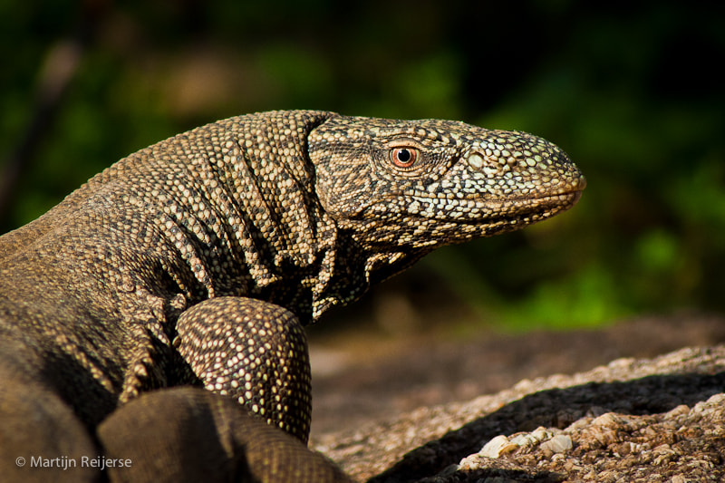 Photograph Monitor Lizard by Martijn Reijerse on 500px