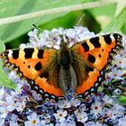 Постер, плакат: Beautiful Tortoiseshell butterfly