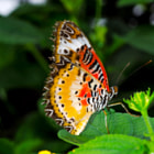 Постер, плакат: Beautiful Lacewing butterfly