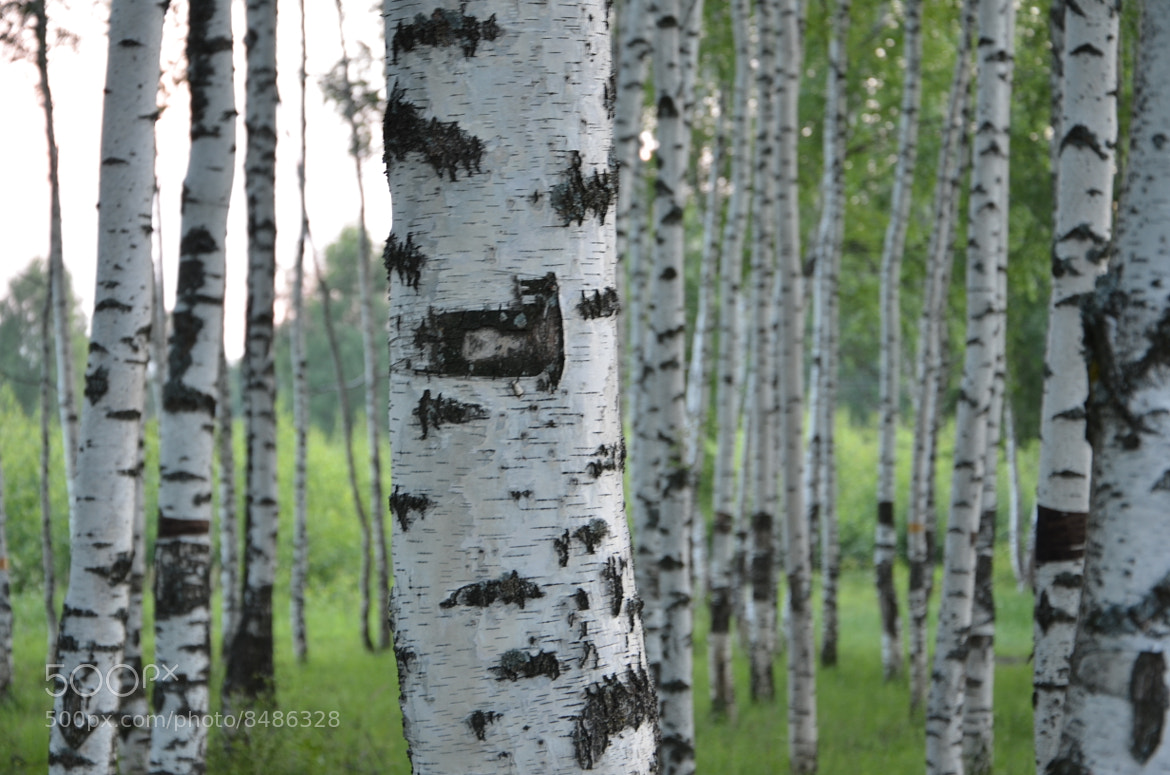 Photograph Russian birch by Alexey Kokurin on 500px