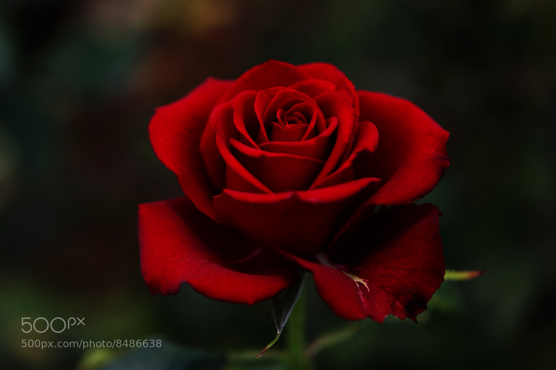 Photograph Red  rose by Cristobal Garciaferro Rubio on 500px